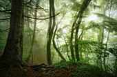 Foggy morning in the springtime beech forest, Bavaria, Germany