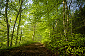 Hiking in spring in the beech forest, Upper Bavaria, Bavaria, Germany