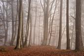 Novembermorgen im Buchenwald, Oberbayern, Bayern, Deutschland