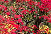 Close up of Japanese maple in The National Arboretum, Westonbirt, Gloucestershire, England