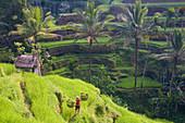 Man in rice fields near Ubud, Bali, Indonesia
