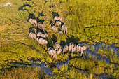 Aerial view herd of elephants, Okavango Delta, Botswana, Africa