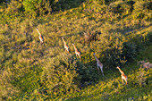Aerial view of Giraffe, Okavango Delta, Botswana