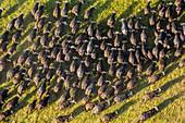 Aerial view herd of African Buffalo's, Okavango Delta, Botswana, Africa