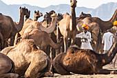 Camel Fair, Pushkar, Rajasthan State, India