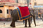 Elephants and mahout, Jaipur, Rajasthan, India