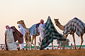 Blankets being put on camels at race course, Dubai, United Arab Emirates