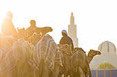 Camels being exercised at race course with mosque, Dubai, United Arab Emirates, UAE