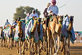 Camels being exercised at race course, Dubai, United Arab Emirates, UAE