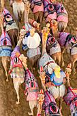 Racing camels, Dubai, United Arab Emirates, UAE