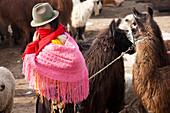Woman with llamas in central Ecuador