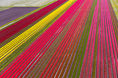 Aerial view of the tulip fields in North Holland , The Netherlands