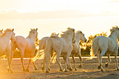 Herd of wild horses in the sunset