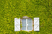 Rustic window in a wall of green ivy