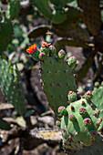An opuntia cactus in the Oaxaca Valley southwest of Oaxaca, Mexico.