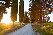 Cypress-lined road at sunset in Tuscany