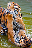 Young Indochinese tigers playing in the water in Thailand