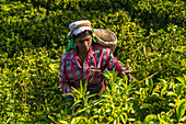 Tea pickers, Tea estate, Hapatule, Southern Highlands, Sri Lanka