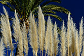 Reed grass shining in the sun in front of a palm tree, Isla Cristina, Andalusia, Spain