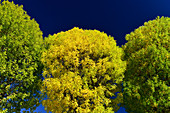Intensely colored trees with yellow and green foliage against a deep blue sky, Millau, France
