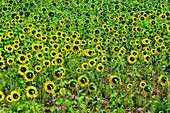 Large field with many blooming sunflowers, Chiaravalle, Italy