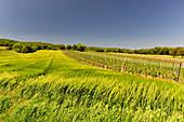 Cornfield and vines in a hilly landscape, near Purbach, Burgenland, Austria