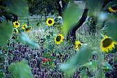 Sonnenblumen bei Kirchehrenbach, Landschaft, Fränkische Schweiz, Oberfranken, Bayern, Deutschland