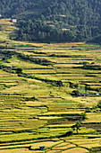 The low altitude and year-round mild temperatures favor rice cultivation in the Punakha valley.