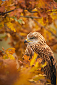Red kite, Milvus milvus, perched in autumnal oak tree amid yellow and orange colloured leaves