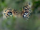 Jaguar  Panthera onca, CAPTIVE