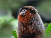 Coppery titi monkey Callicebus cupreus Captive