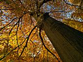 Beech tree autumn leaves near Holkham Norfolk