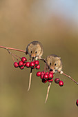 Harvest Mouse (Micromys minutus) 2 adults standing on Common Hawthorn (Crataegus monogyna) twig with berries, Suffolk, England, UK, November, controlled subject