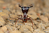 Safari Ant Guard (Dorylus sp.) protecting the workers in the Bwindi Impenitrable Forest, Uganda, Africa