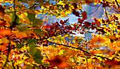 Herbstlaub oberhalb der Isar, Bayern, Deutschland, Europa