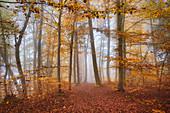 Herbstlicher Buchenwald südlich von München, Oberbayern, Bayern, Deutschland, Europa