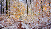 Onset of winter in the autumn beech forest near Munich, Upper Bavaria, Bavaria, Germany, Europe