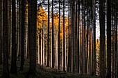 Autumn evening in the spruce forest, Upper Bavaria, Bavaria, Germany, Europe