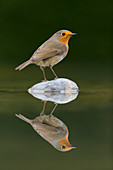 European Robin (Erithacus rubecula) adult, perched on stone in water with reflection, Suffolk, England, December