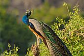 Male Peacock (Pavo cristatus) calling at dawn in Yala West National  Park, Sri Lanka.