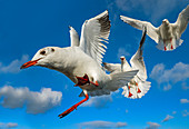 Black headed Gulls Larus ridibundus in flight photographed with a wide angle lens