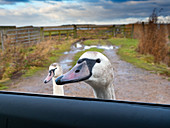 Mute Swan Cygnus olor with head in car window waiting for food handouts. Norfolk Winter