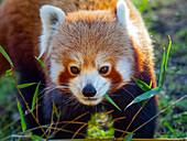 Red panda Ailurus fulgens  feeding on bamboo leaves captive portrait