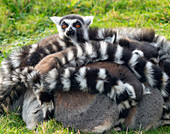 A huddle of Ring-tailed lemurs iLemur catta in cold weaather . Captive portrait