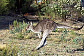 Eastern gray kangaroo Jumping in the outback of Canberra Australia Capital Territory