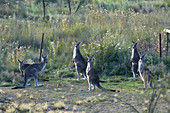Eastern gray kangaroos in the outback of Canberra Australia Capital Territory