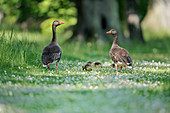 Greylag Geese (Anser anser) feral birds with goslings in Country Park, East Lothian, Scotland, May 2015