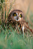 Short-eared Owl (Asio flammeus) perched on ground after failed hunting attempt, Lindisfarne National Nature Reserve, Northumberland, England, February 1999