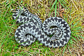 Adder (Viper berus) overhead view of male, Cheviot Hills, Northumberland National Park, Northumberland, England, May 2015