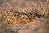 Brown Hare (Lepus europaeus), hiding in rough grassland, Loch Gruinart RSPB Nature Reserve, Hebrides, Islay, Scotland, April 2004